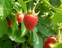 Video comment bien planter vos fraisiers - Comment planter un cerisier ...