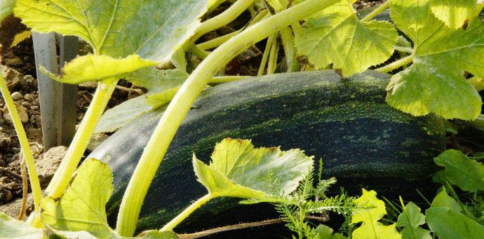 Planter des courgettes bio