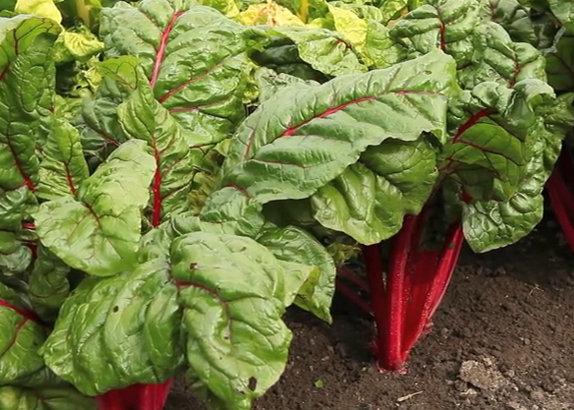 Planter des poirées ou blettes