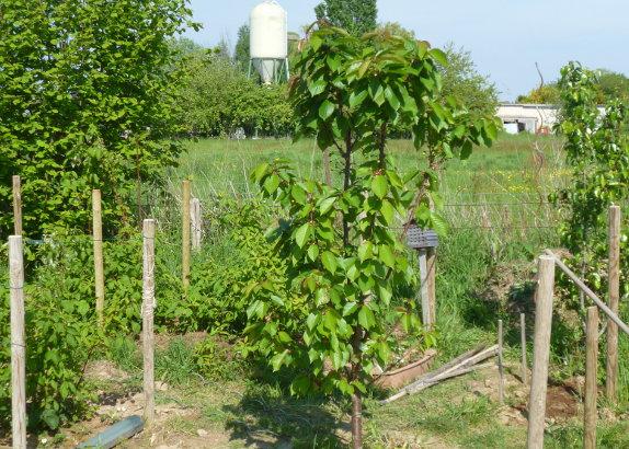 quand planter un en pleine terre plant de fraisier oignon jaune de stuttgart quand planter un. Black Bedroom Furniture Sets. Home Design Ideas