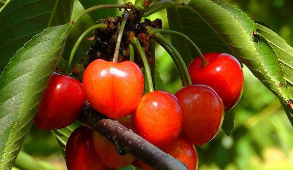 Planter un cerisier nain