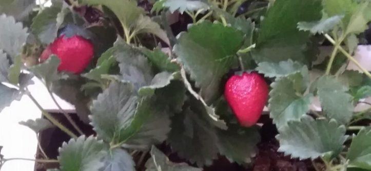 Variétés de fraisiers pour culture en pot